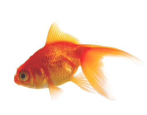 Fototapete goldfisch 288x270 tapete fisch unterwasser wasser zierfisch ebay - Fliesenaufkleber fische ...