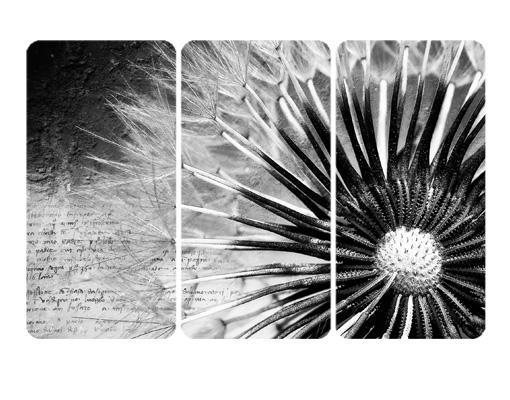 Mehrteilige Bilder Pusteblume : Pusteblume schwarz & weiß Triptychon I  Kunstdrucke  bilder