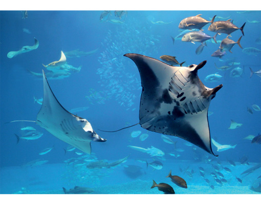 Photo wall mural manta ray 400x280 wallpaper wall art wall for Diving and fishing mural
