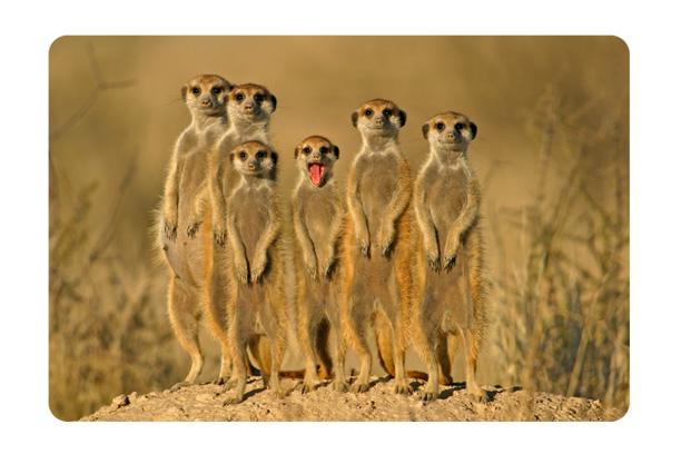 Wandbild erdm nnchen familie meerkatzen nagetiere afrika savanne ebay - Wandbild familie ...